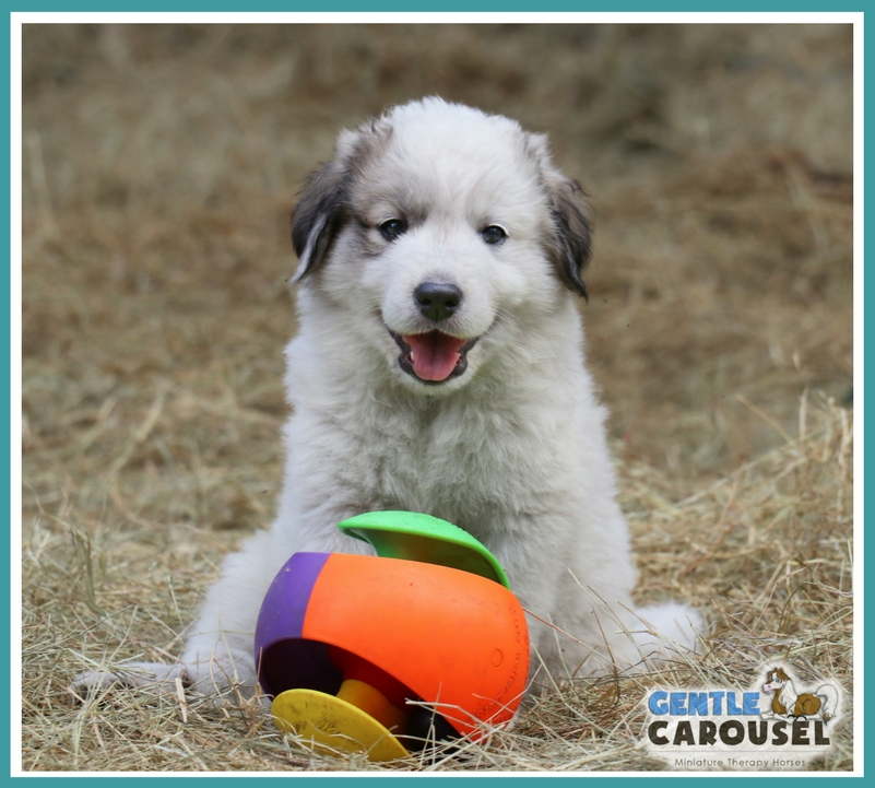 Guardenia livestock guardian puppy 7 weeks old 801x721