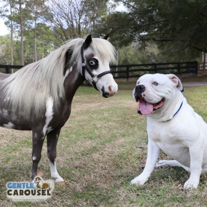 Horse Quiz Gentle Carousel Dog Lover 300x300