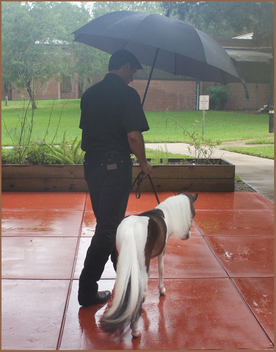 Gentle Carousel Miniature therapy horse Scout in the rain Shands 560x714
